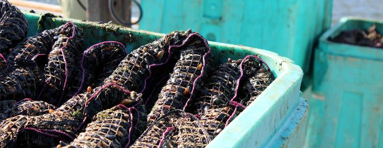 Go Deep Mussel Farm Sock Shellfish Farming Techniques Socking Product