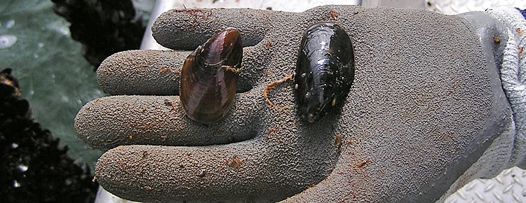 Harvesting and Processing Mussels Banner