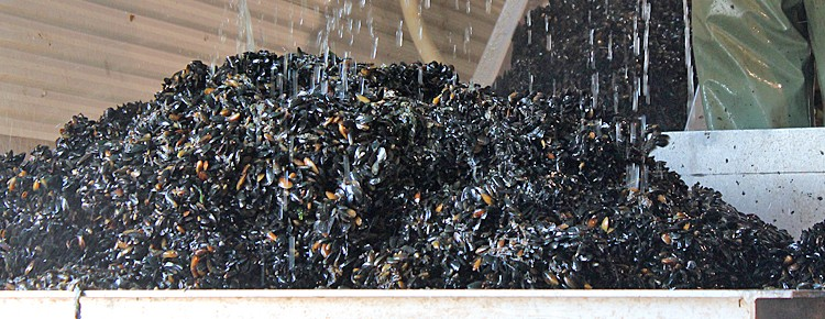 Mussel Seed Spat Collection