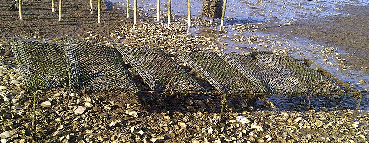 Off Bottom Oyster Culture in Rack and Bag Systems Banner