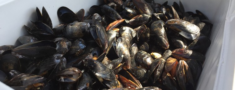 PEI Cultured Farmed Mussels with Go Deep Mussel Sock